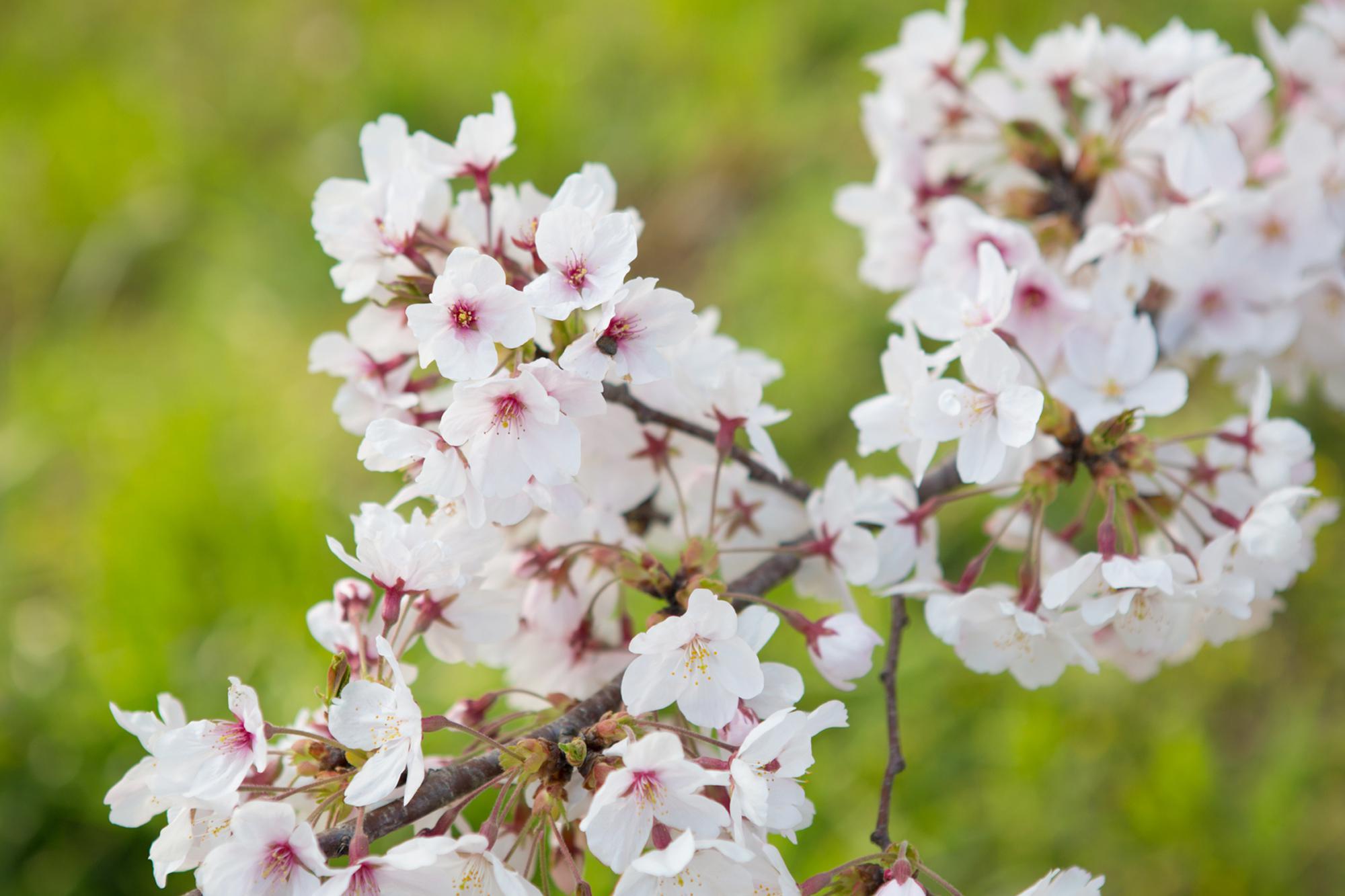 秋月杉の馬場の桜